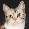 American Shorthair cat breed photo