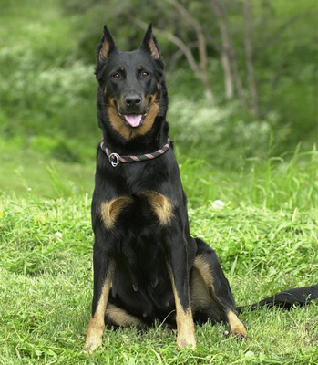 Beauceron dog breeds