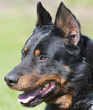 Beauceron dog breed face