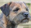 Border Terrier dog breed face
