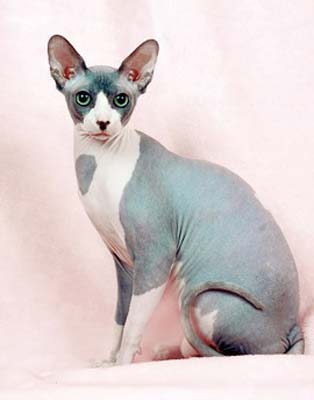 Canadian Sphynx breed photo