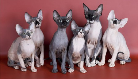 Canadian Sphynx cat breeds