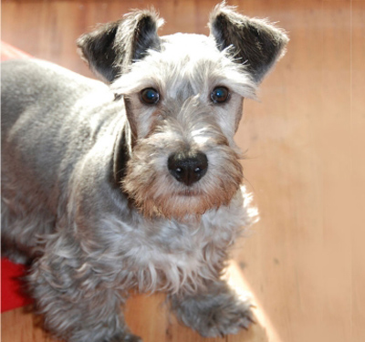 Cesky Terrier dog breed photo