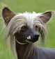 Chinese Crested dog breed face