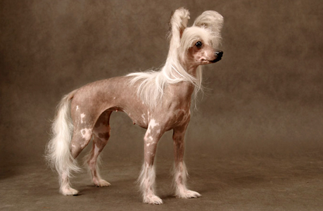 Chinese Crested dog breeds
