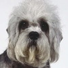 Dandie Dinmont Terrier dog breed photo