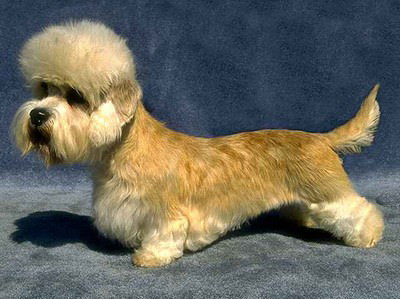 Dandie Dinmont Terrier dog breeds