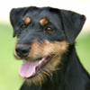 Deutscher Jagdterrier dog breed photo