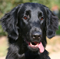 Flat Coat Retriver dog breed face