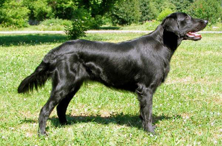 Flat Coat Retriver dog breeds