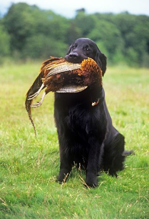 Flat Coat Retriver dog breeds photo