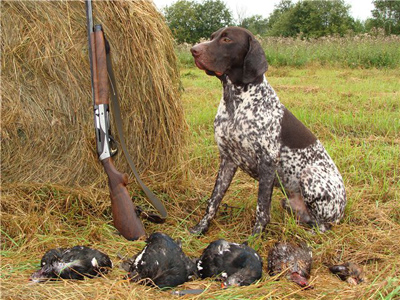 German Shorthaired Pointer dog breed photo