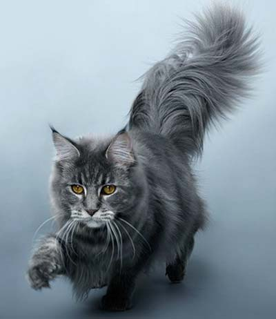Maine Coon cat breeds