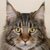 Maine Coon cat breed photo