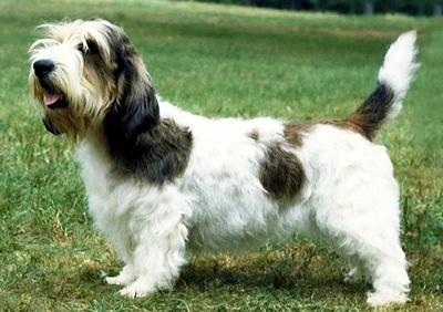 Petit Basset Griffon Vendeen dog breed photo