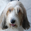 Petit Basset Griffon Vendeen dog breed face