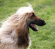 Afghan Hound dog breed face