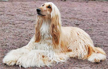 Afghan Hound dog breeds photo