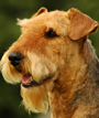 Airedale Terrier dog breed face