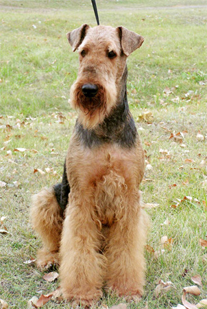 Airedale Terrier dog breeds photo