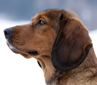 Alpine Dachsbracke dog breed face