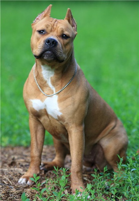 american pit bull terrier dog breeds