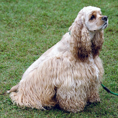 american cocker spaniel dog breeds