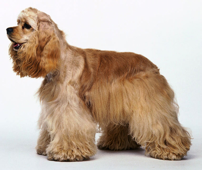 american cocker spaniel dog breeds photo