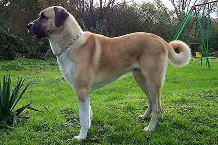 Anatolian Shepherd Dog breeds