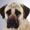 Anatolian Shepherd Dog breed photo