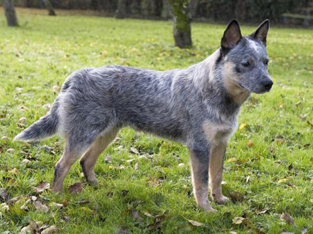 Australian Cattle dog breed photo