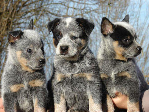 Australian Cattle Dog dog breeds