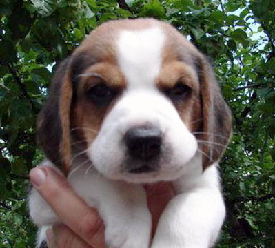 Beagle dog breeds puppy