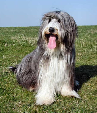 Bearded Collie dog breed photo