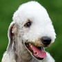 Bedlington Terrier dog breed face