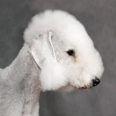 Bedlington Terrier dog breeds photo