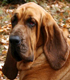 bloodhound dog breed face