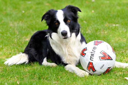 Border Collie dog breeds