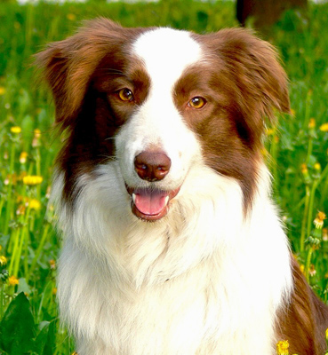Brittany spaniel border collie mix