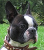 Boston Terrier dog breed face