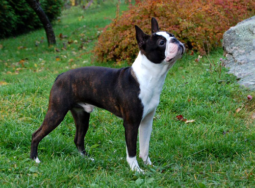 Boston Terrier dog breeds