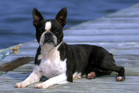 Boston Terrier dog breeds photo