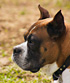 boxer dog breed face