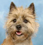 Cairn Terrier breed face
