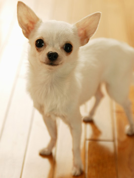 Chihuahua dog breed photo