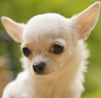 Chihuahua dog breeds face