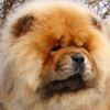 Chow Chow dog breed face