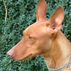 Cirneco dell'Etna dog breed face