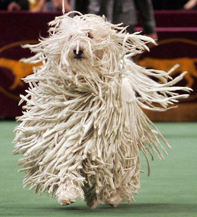 komondor breed photo