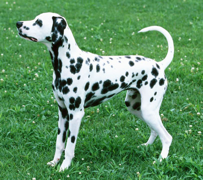Dalmatian Dog Breed Aggression